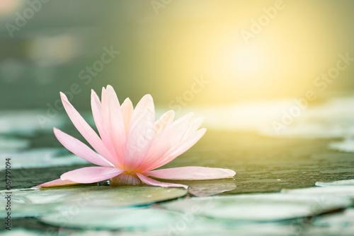 Beautiful Lotus Flower In Pondthe Symbol Of The Buddha Thailand