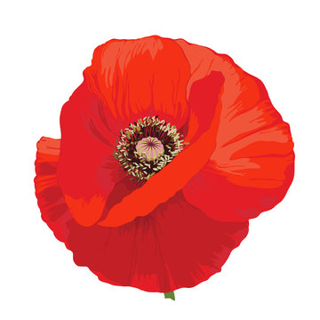 Poppy flower - Papaver rheas.