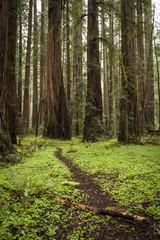 Trail through Redwoods, Humboldt County, California, USA