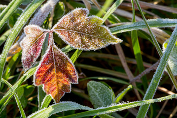 Close up of frosty red poison ivy leaves
