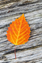 Big tooth aspen leaf lying on wooden background