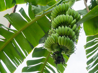 A large banana bunch on a banana tree.
