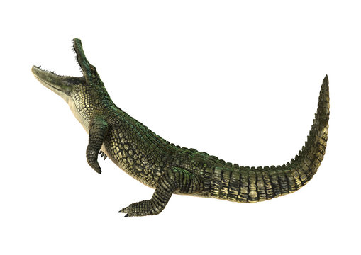 3D Rendering American Alligator on White