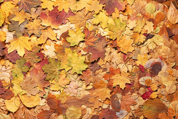 Colorful autumn background. Fallen leaves.