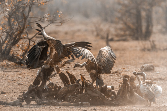 White-backed Vulture and Lappet-faced Vulture in Kruger National park, South Africa