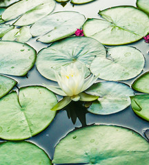 A white lotus and lily pads in a pond of a botanical water garden
