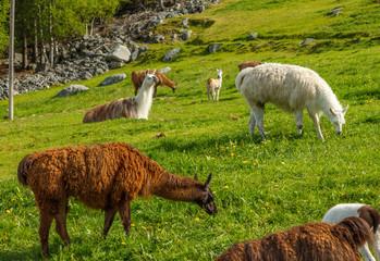 Alpacas grazing on green grass