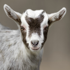 goat animal portrait