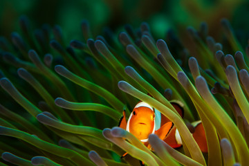 Clownfish in Green and Purple Anemone