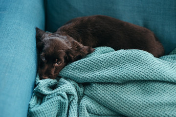 Adorable puppy resting on the sofa at home