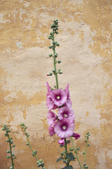 Light pink flowers on worn-out wall