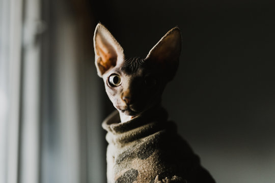 Profile of sphinx cat in camouflage shirt
