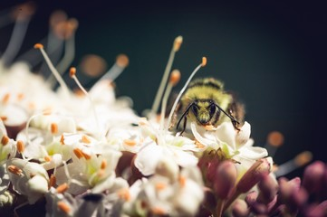 Macro of a bee pollinating a flower