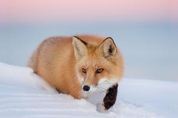 Small fox trodding through the snow