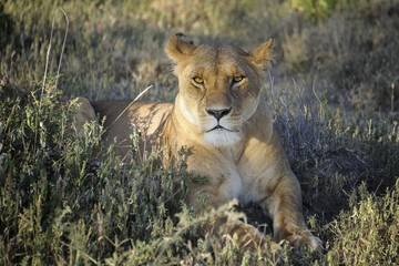 Lioness staring at the camera
