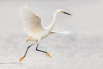 Bird running through the water