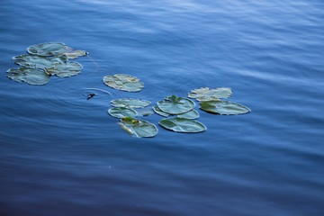 Green leaves of Kaluga on the watery surface of a blue and clean lake