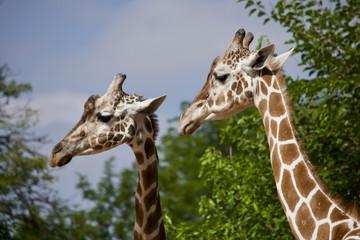 Mr. and Mrs. Giraffe