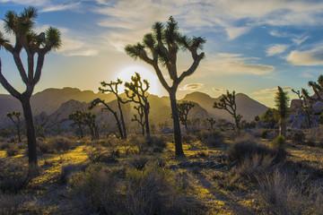 Joshua Tree National Park Sunset in the Desert