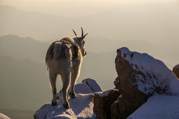 Mountain Goat on Snowy Peak