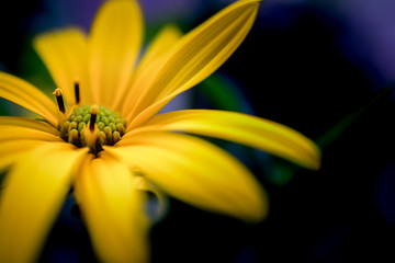 mexican sunflower close up on background
