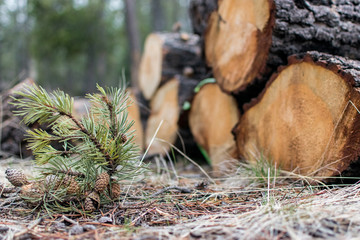 New life small pine tree against stacked firewood