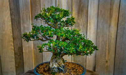 Bonsai Olive tree