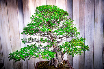 Catlin Elm bonsai tree