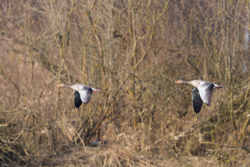 two gray geese (anser anser) flying with trees