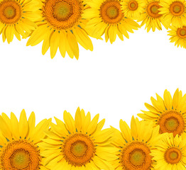 sunflower on white background 3