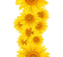 sunflower on white background 5