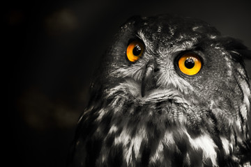 Portrait black and white Eurasian eagle-owl, owl
