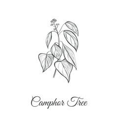 Camphor tree vector illustration. Camphor Tree Sketch