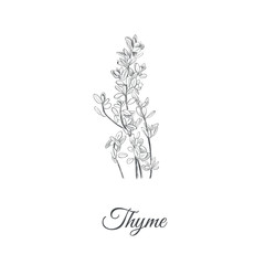 Thyme vector illustration. Thyme sketch