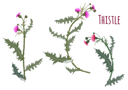 Thistle, (Carduus, Silybum, Onopordum). Set of red, purple flowers, buds, spiny stems, green leaves. Symbol of Scotland on white background, digital draw, botanical illustration for design, vector