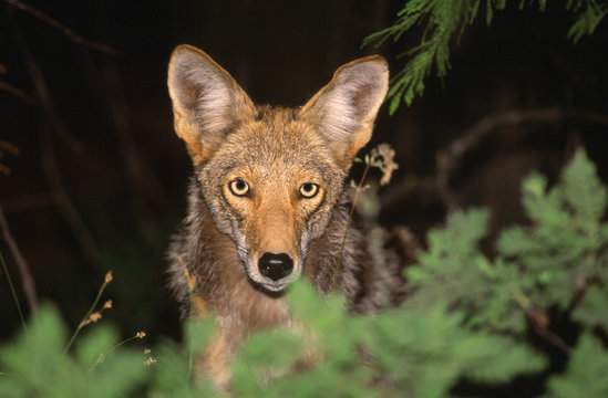 coyote canis latrans parco nazionale yellowstone wyoming usa america del nord