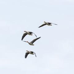 four flying gray geese (anser anser) white sky