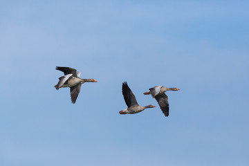four flying gray geese (anser anser) flying in blue sky
