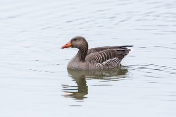 side view portrait of swimming natural gray goose (anser anser)