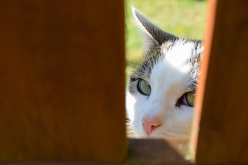 Domestic cat peeking from behind wooden fence and looking at camera.