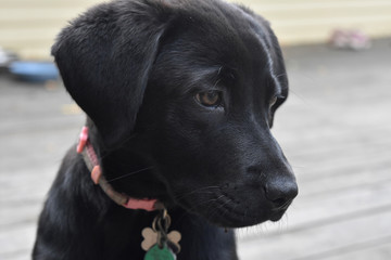 Up Close Look at the Black Labrador Retriever Puppy