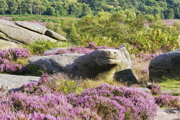 Sitting on Hathersage Moor in the Derbyshire Peak District, amongst the purple heather and lush green grass and ferns, a large ancient and weathered gritstone rock resembles the head a turtle or snake