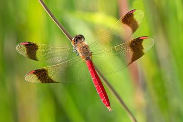 An Sympetrum pedemontanum banded darter dragonfly