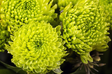 Close view of a green flower dahlia