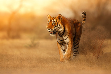 Poster de jardin Tigre Great tiger male in the nature habitat. Tiger walk during the golden light time. Wildlife scene with danger animal. Hot summer in India. Dry area with beautiful indian tiger, Panthera tigris