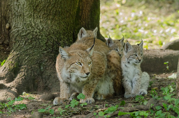 Une femelle lynx avec 3 petits. Lynx lynx.