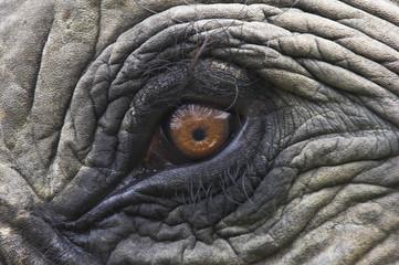 Close up of Indian Elephant Eye (Elephas maximus)(Domestic). Kaziranga National Park, Assam, India. Endangered species.
