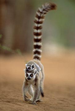 Ring tailed lemur carrying young (Lemur catta). Madagascar.