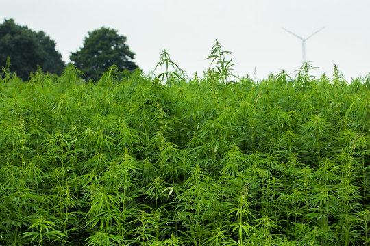 Industrielle Hanfplantage