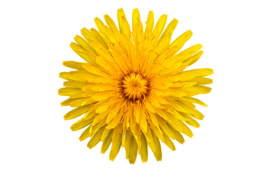 One yellow flower of dandelion on white background with clipping path. Close-up. Studio photography.